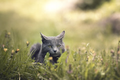Cat on the grass (Marc Andreu) Tags: chat cat animal intérieur indoor eyes yeux yellow green jaune look vert velue bokeh hairy félin nature gris blanc mignon regard patte kitten chaton mammifère chartreux grey marcandreu