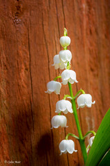 Lily of the valley - (Tamron, Adaptall 2, 35-135mm, BBAR) - 2018-05-13th (colin.mair) Tags: 10mmextension 16mmextension 35135mm adaptall2 bbar lilyofthevalley mc prestwick tamron f56 flowers macro reflector cy