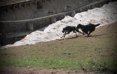 la course (bulbocode909) Tags: valais suisse ovronnaz montagnes nature chiens neige barrières vert printemps