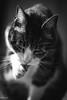 Tchoupi (Lilas M *LworldPhotography* https://www.facebook.c) Tags: chat portrait félin monochrome
