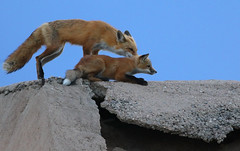 Fox & Kit (Bill G Moore) Tags: fox animal wildlife kit mom baby canon colorado nature