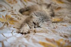 Пушистое (akk_rus) Tags: marcello persian cat cats pet pets chat chats animal animals nature feline gato кот коты кошка chinchilla 2470 28 nikkor nikkor247028 nikon d800 nikond800