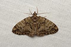 Hydriomena speciosata - Hodges # 7263 - WA, USA (Nick Dean1) Tags: hydriomenaspeciosata geometridae animalia arthropoda arthropod hexapoda hexapod insect insecta lepidoptera