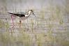 Échasse blanche (Himantopus himantopus) (G.NioncelPhotographie) Tags: échasse blanche himantopus