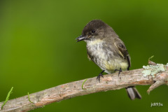 Eastern Phoebe (jt893x) Tags: 150600mm bird d500 easternphoebe flycatcher jt893x nikon nikond500 phoebe sigma sigma150600mmf563dgoshsms songbird alittlebeauty coth thesunshinegroup coth5 ngc