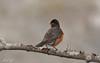 Merle d'Amérique // American Robin (Keztik) Tags: merledamérique americanrobin turdusmigratorius oiseau merle bird robin animal wildlife nature
