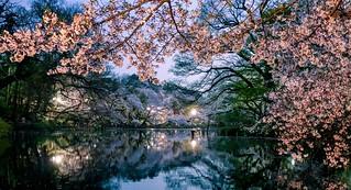 Sakura in the blue