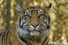 tiger stare (ucumari photography) Tags: ucumariphotography jacksonville florida fl zoo tiger animal mammal march 2018 dsc1899 specanimal