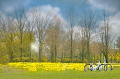Yellow Carpet Ride (floralgal) Tags: yellowdaffodilsbicycles daffodilspurchase new yorkspring yorkwall wall daffodilsyellow carpet daffodilsridingabikethroughdaffodils theyellowcarpetride