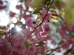 Sakura. (MarcBphotos) Tags: sakura cerisier fleurs flowers pink spring sky sun light ray bokeh stuning fuji xt20 xf 55200