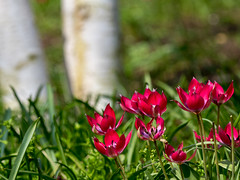 NB-6.jpg (neil.bulman) Tags: tulips wintergardens spring pink birch lordfairhaven plants nature gardens cambridgeshire flower silverbirch tree nationaltrust angleseyabbey red lode england unitedkingdom gb