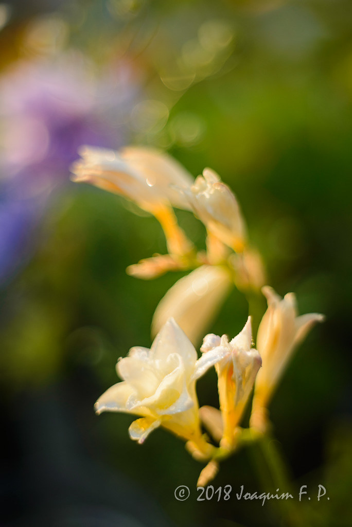 eefdbd4964 Freesia blanca (Joaquim F. P.) Tags: test tarragona macro flora  pentaconautomc1850 nikon 50mmf18 m42