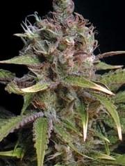 Power_Africa_57166ab7f24c6 (Watcher1999) Tags: power africas super skunk cannabis medical marijuana seeds growing smoking weed legalize it ganja