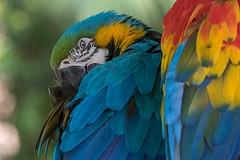 Colour Incorporated (gecko47) Tags: bird birds macaws parrots southcentralamerica australiazoo beerwah bluegoldmacaw araararauna scarletmacaw aramacao vivid colours plumage closeup