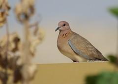 Laughing Dove    (Spilopelia senegalensis) (Flame1958) Tags: laughingdove spilopeliasenegalensis dove unitedarabemirates uae uaebird 010518 0518 2018 nadelsheba wildbird bird birds emiratesbird desertbird 9557