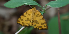Mon premier papillon de la saison ! (passionpapillon) Tags: macro papillon butterfly passionpapillon 2018 lapanthère pseudopantheramacularia
