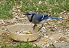 I Flew All The Way Over Here For THIS (ChicaD58) Tags: dscf38381a bluejay jay bluebird goodiebowl corn leftovers messy backyard spring