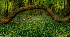 Bluebell wood.jpg (jamiepacker99) Tags: 2018 essex england spring april thundersley shipwrightswood bluebell flowers canoneos6d canonef24105mmf4lisusmlens