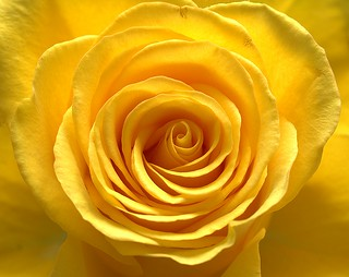 The Yellow Rose of Brentwood not Texas
