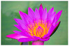 Purple Water Lily Flower 1 (Shojib77) Tags: waterlily lotus purplelotus beautifulnature travel photography srimangal garden water