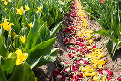Tulip remainders (after harvesting) (PaulHoo) Tags: fujifilm x70 tulip remainder leaf fields crop agriculture path 2018 spring harvest