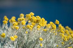 Mediterranean Flowers (Rainbow 4A) Tags: wildflower spring meadow pansy corn poppy springtime phalaenopsis blooming uncultivated gerbera growth raised garden mediterranean flowers sigma 85mm f14 dg hsm art nikon d810 malta helichrysum italicum