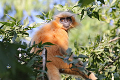 Gee's Golden Langur - Trachypithecus geei (Roger Wasley) Tags: gees goldenlangur trachypithecusgeei assam india monkey primate animal mammal asia oldworld endangered