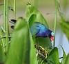 05-04-18-0015957 (Lake Worth) Tags: animal animals bird birds birdwatcher everglades southflorida feathers florida nature outdoor outdoors waterbirds wetlands wildlife wings
