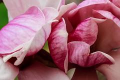The Rose (Blue River Photos) Tags: arboretumwisconsin flowersbeautiful flowerspretty flowerarboretum wisconsinflowers beautifulflowers prettyflowers beautifulpicture beautifulphoto prettypicture prettyphoto canonlens canoncamera 100mmportraitfine artsceniczenfolio
