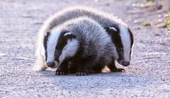 Badger Cubs (The Rustic Frog) Tags: brandon marsh nature reserve warwickshire wildlife trust midlands uk england central canon eos digital camera lens path wild animals badger cubs