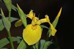 Wild Flower (Hugo von Schreck) Tags: hugovonschreck flower blume blüte wildblume wildflower macro makro canoneos5dsr tamron28300mmf3563divcpzda010