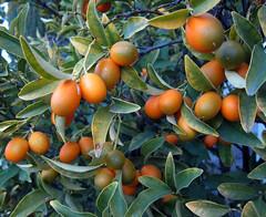 fp051418-05 (fontplaydotcom) Tags: kumquats citrus tree leaves orange green