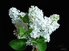 Lilacs in the Dark (the mindful fox) Tags: lilac lilacs white flowers fleurs flores blümen
