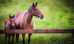 Photo de famille (Pascal Briquet) Tags: d800e lacderabondange nikon normandie orne chevaux cheval nature animaux