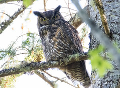 Great Horned Owl (RebelRob) Tags: britishcolumbia vancouverisland victoriabc birds birdwatching birdsofprey owls bubovirginianus greathornedowl