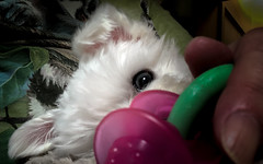 Bunny in my lap (Dotsy McCurly) Tags: appleiphone8plus bunny cute puppy dog maltese closeup 7dwf crazytuesdaytheme touch
