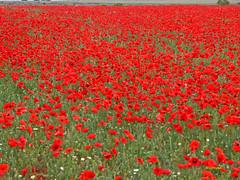 Campo de Amapolas   (15) (eb3alfmiguel) Tags: campos rojo amapolas