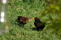 Blackbird chick being fed (onlygwuk) Tags: blackbird birds feeding juvenile nurture nature