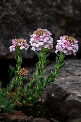 Aethionema saxatile (dnieper) Tags: flores silvestres aethionema saxatile valporqueroleón spain españa