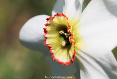 Narcisse sauvage (fauneetnature) Tags: narcisse narcissus fleur flower nature flore macrophotographie macro macrophotography