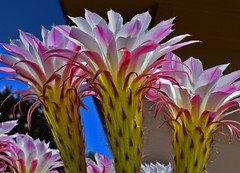 Pink Flamingos (oybay©) Tags: suncitywest arizona unique unusual nightbloom night cactusflower cactus flower flora fiori blumen argentinegiant macro upclose color colors white whiteflower light greatshot coolshot cool indoor