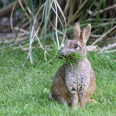 Mouthful. (wurzel.pete.3.5 Million views,Ta!) Tags: 20518 nature wild wildlife grass rabbit bunnie mouthfull uk bletchingley surrey bbcspringwatch