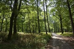 bospad_D719676 (Vogelmelk) Tags: veluwe bos natuur nature nederland gelderland gelderslandschap loenermark