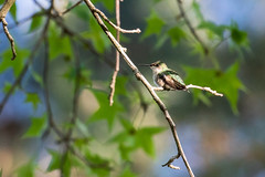 Hummer sitting pretty! (norasphotos4u) Tags: birds canonef100400f4556iiusm social hummingbird ©noraleonard flickr canon5dmkiv