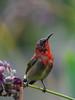 The crimson sunbird (Aethopyga siparaja) (Robert-Ang) Tags: crimsonsunbird aethopygasiparaja animalplanet nature wildlife jurongecogarden singapore