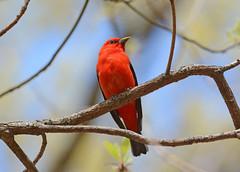 Scarlet Tanager (av8s) Tags: scarlettanager tanager birds perchingbirds songbirds nature wildlife pennsylvania pa photography nikon d7100 sigma 120400mm