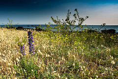 Fleurs en bord de mer / Flowers by the sea (dbrothier) Tags: quiberon kiberen canonef1740mmf4lusm eos6d canon6d lr bzh bretagne breizh conguel flowers fleurs ocean