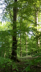 20180515_145909 - TREE in All its Glory (The One Wonderer PathFinder) Tags: tree glory theonewondererpathfinder traalle southzealand inthewoods walkinthewoods denmark