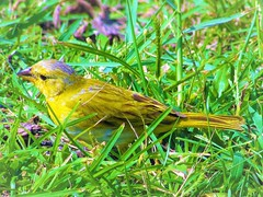 Bird in the grass (thomasgorman1) Tags: finch animal wildlife birdie little tiny yellow hawaii canon island beach carlsmith hilo outdoors colors