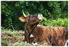 Pause Vache - Gresson / Oberbruck (jamesreed68) Tags: animal vache pré 68 hautrhin nature oberbruck gresson pâturage france canon eos 600d alsace grandest